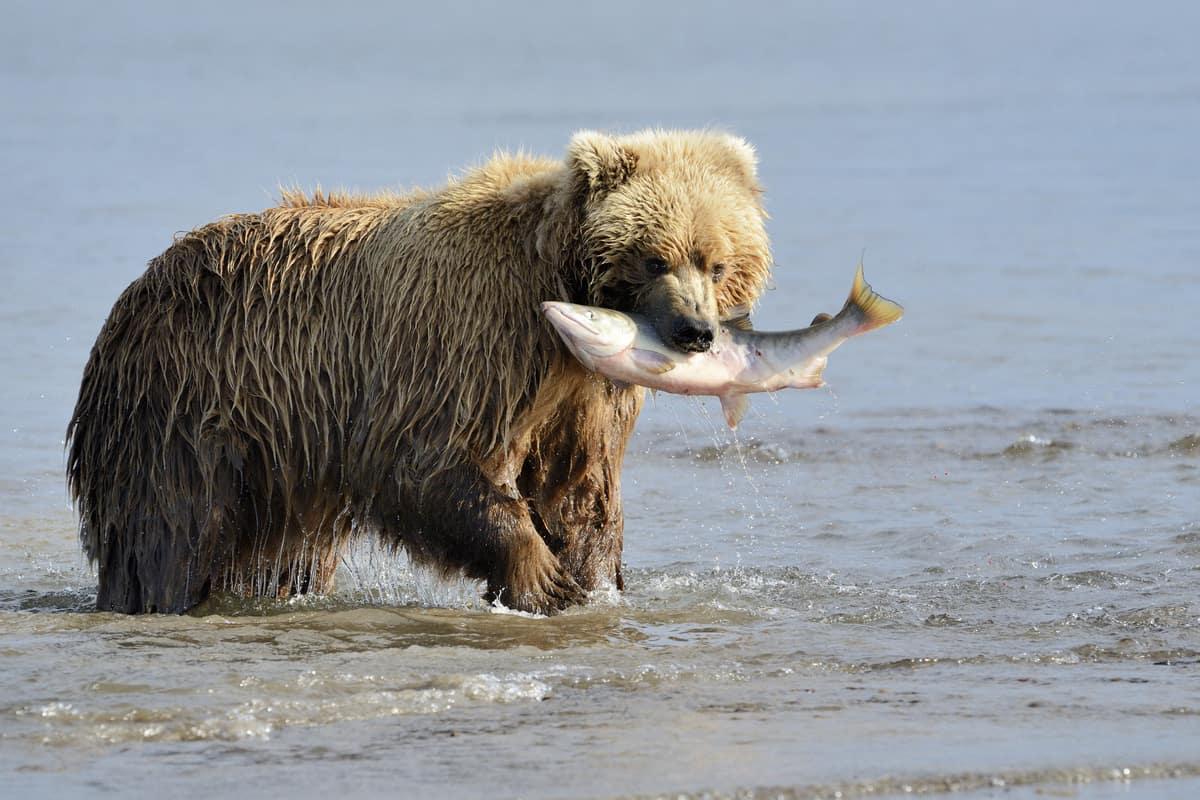Uncruise Alaska Small Ship Alaska Cruise Bear