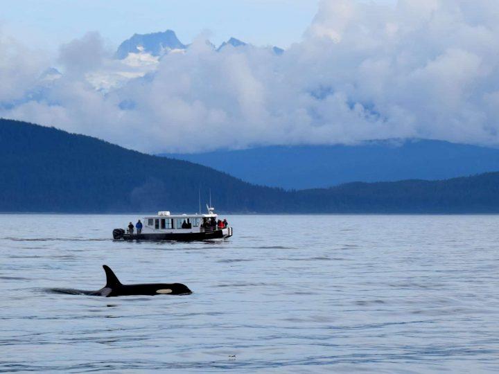 Uncruise Alaska Small Ship Alaska Cruise with kids orca