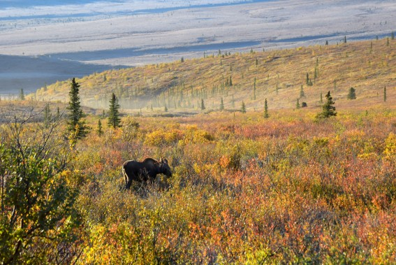 An Alaska Cruise National Park excursion is great for those hoping to spot the famous wildlife of Denali, as well as a glimpse of the mountain itself.