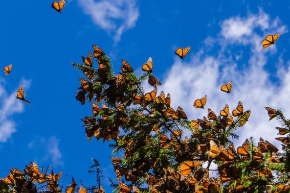 Learn about the monarch butterflies by visiting their winter roosting sites