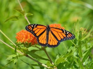 A monarch butterfly lands on milkweed, the only plant it lays eggs on.