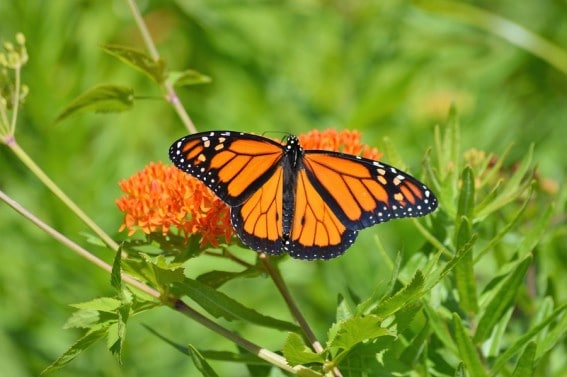 A monarch butterfly lands on milkweed, the only plant it lays eggs on. Learn about monarch butterflies & help to save this species.