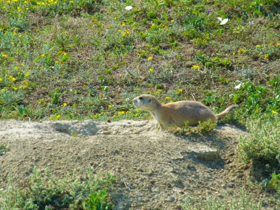 A prairie dog waits atop his mound in Theodore Roosevelt National Park in North Dakota