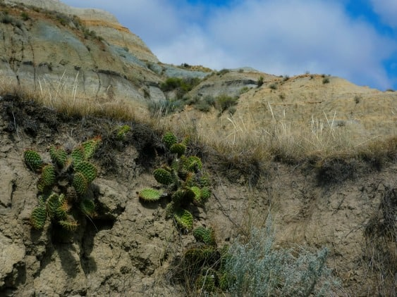 cactus growing in Theodore Roosevelt National Park