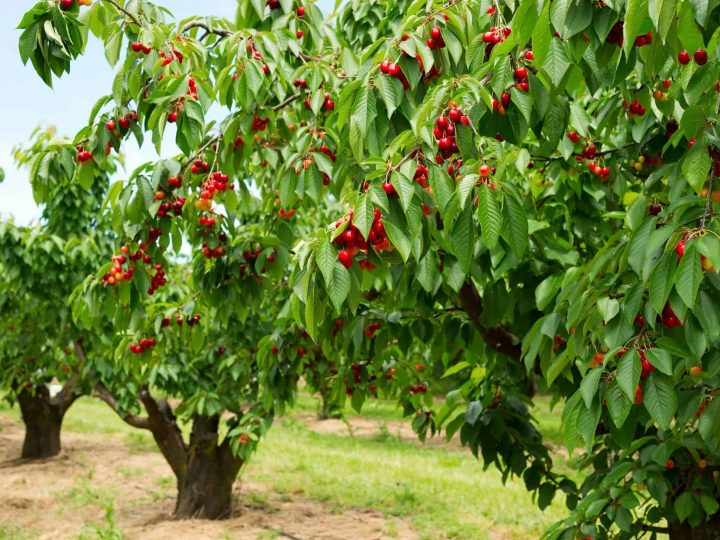 Cherry Farms: Tips and Tricks for Visiting with Young Kids