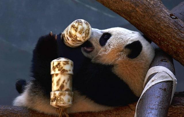 Panda at Zoo Atlanta