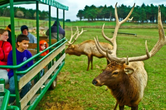 Exploring Ludington, Michigan's Amber Elk Ranch with kids