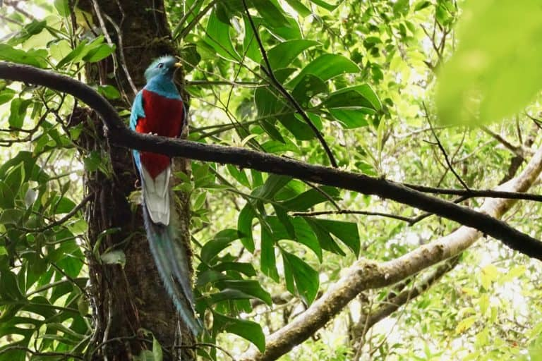Costa Rica with Kids - Monte Verde Cloud Forest Reserve Quetzel Bird