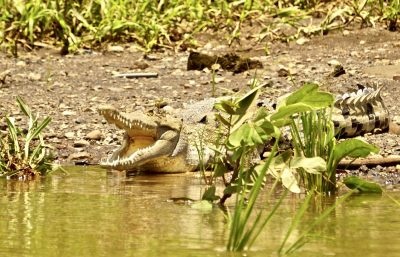 Costa Rica Family Vacation - Tarcoles River Crocodile