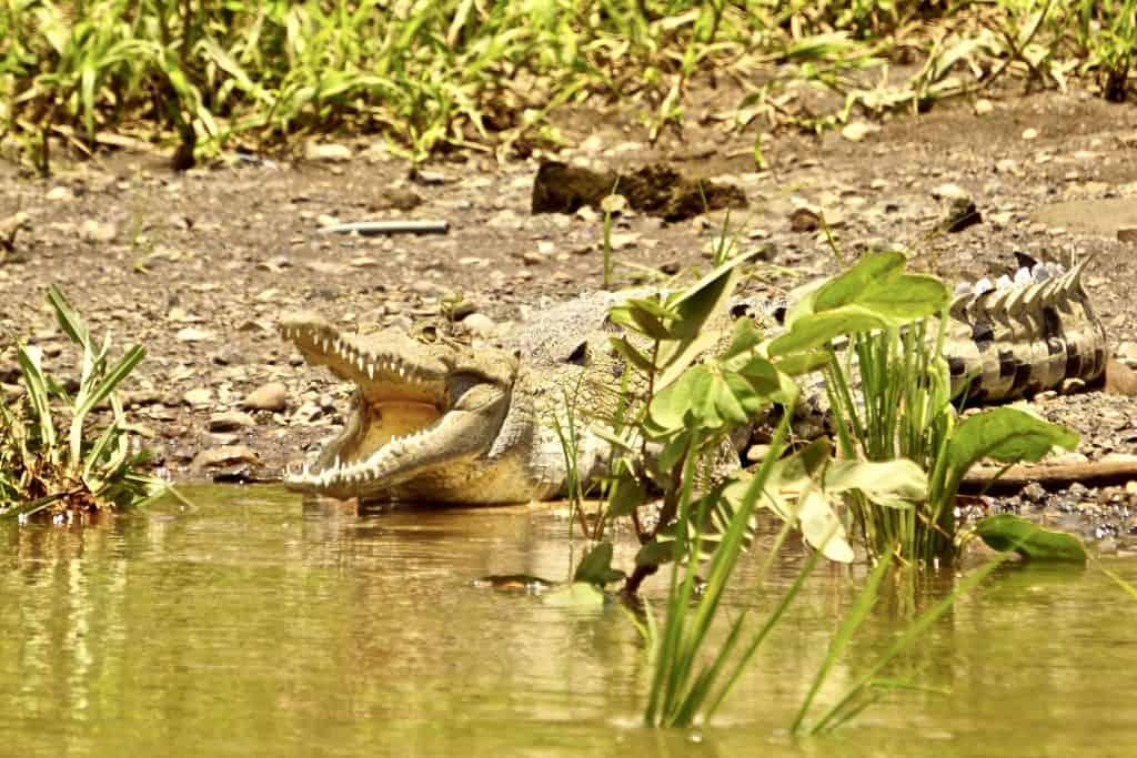 Crocodile at Tarcoles River Safari