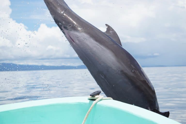Dolphins Breaching at Golfo Dulce