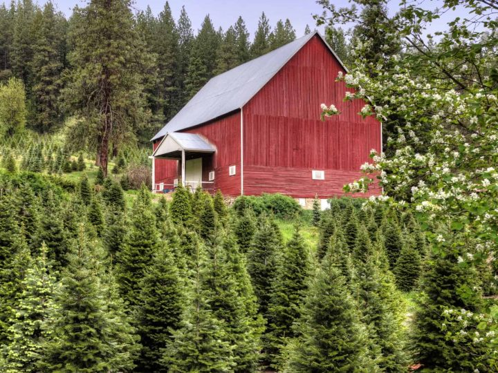 Know-before-you-go Tips for Visiting a Christmas Tree Farm