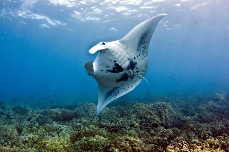 things to do on the Big Island with kids manta rays