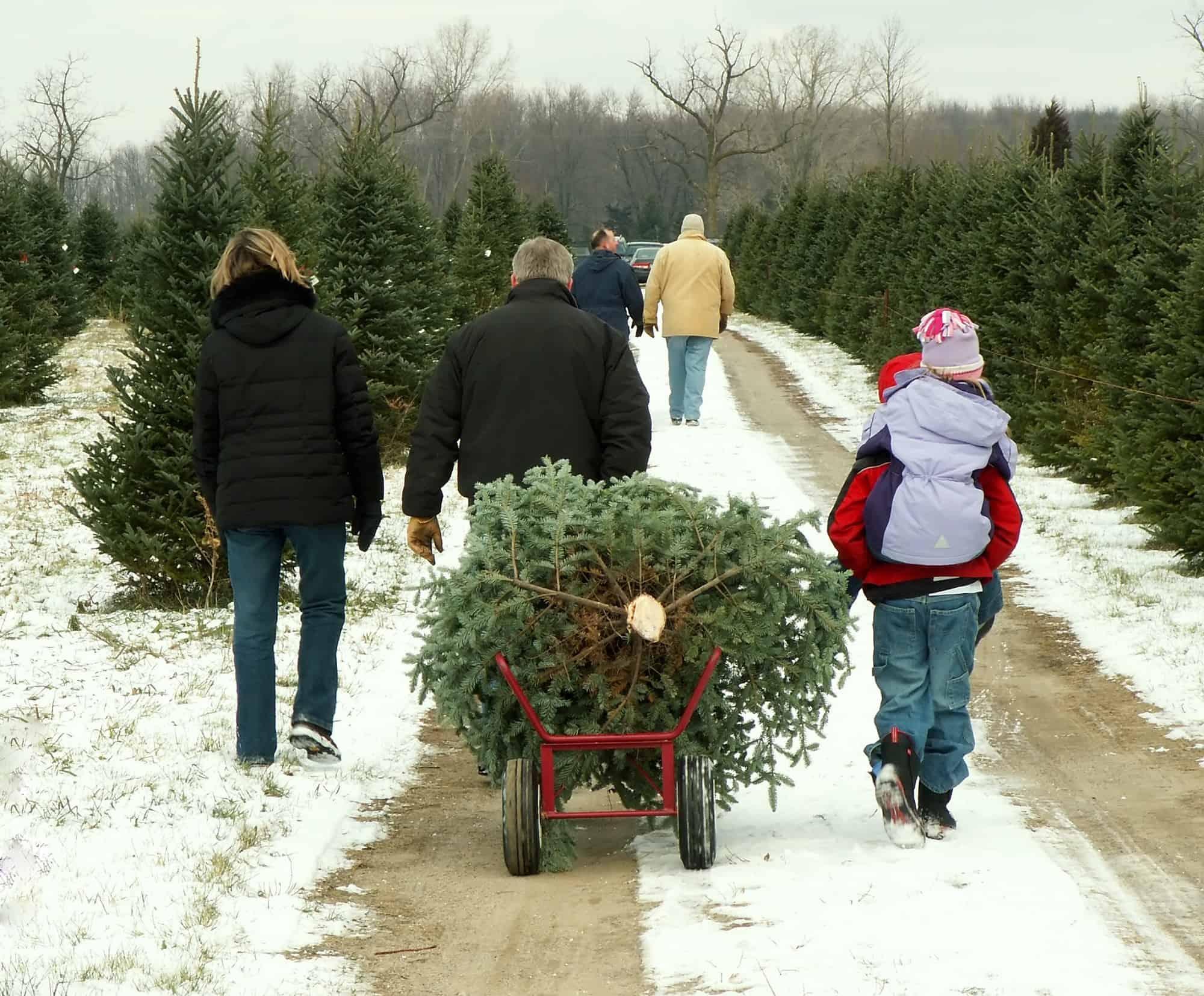 U-Cut Christmas Tree Farms: Cutting Down Your Own Tree