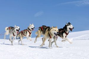 Dog-sledding-adventure-with-kids-shutterstock