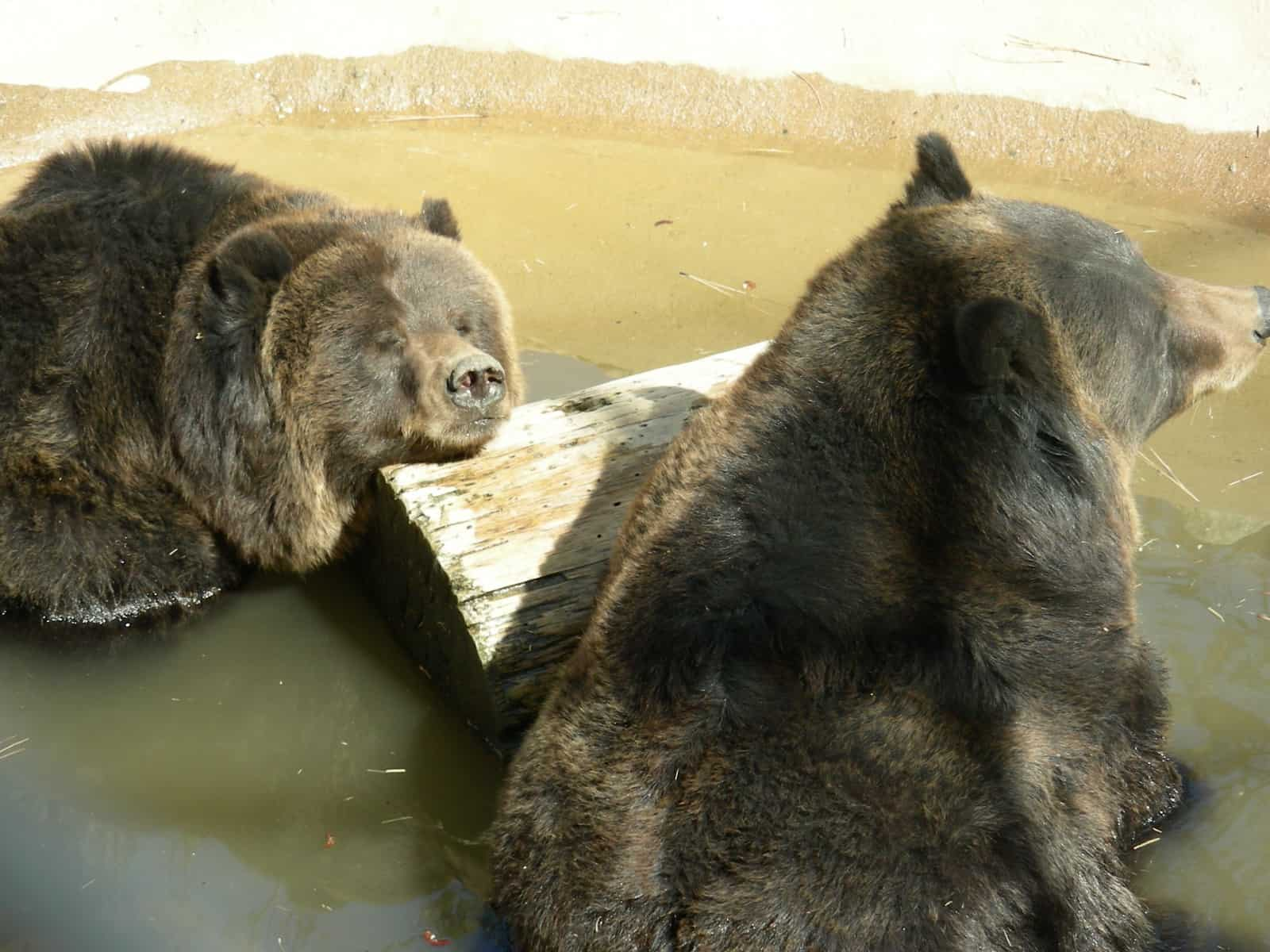 Two Grizzly Bears at the Big Bear Alpine Zoo