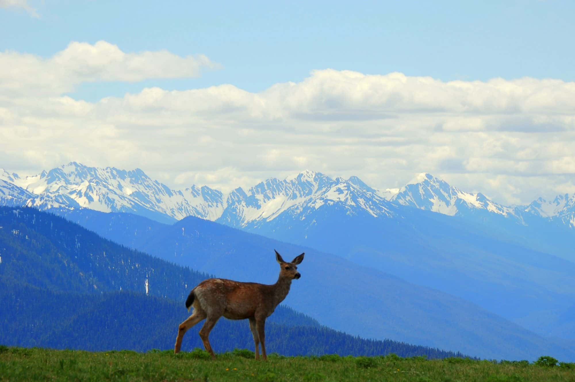 One of the most popular Things to do in Olympic National Park is visit Hurricane Ridge