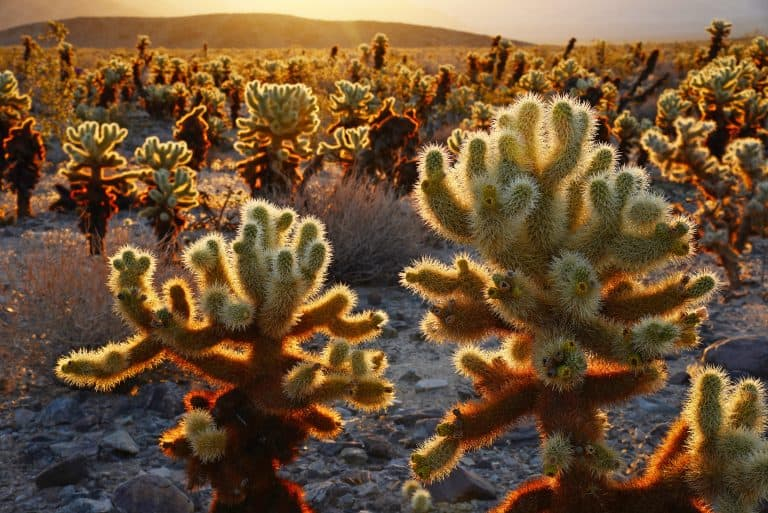 Visit Joshua Tree National Park's cholla Cactus garden