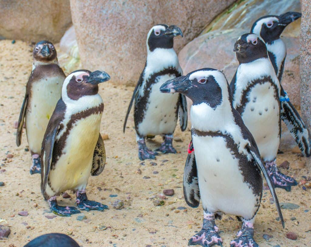 Penguins at the Toledo Zoo