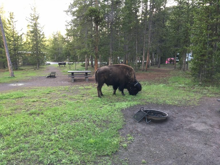 yellowstone national park camping bison