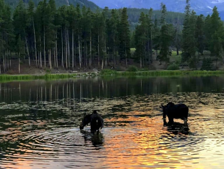 Moose grazing in Sprague Lake