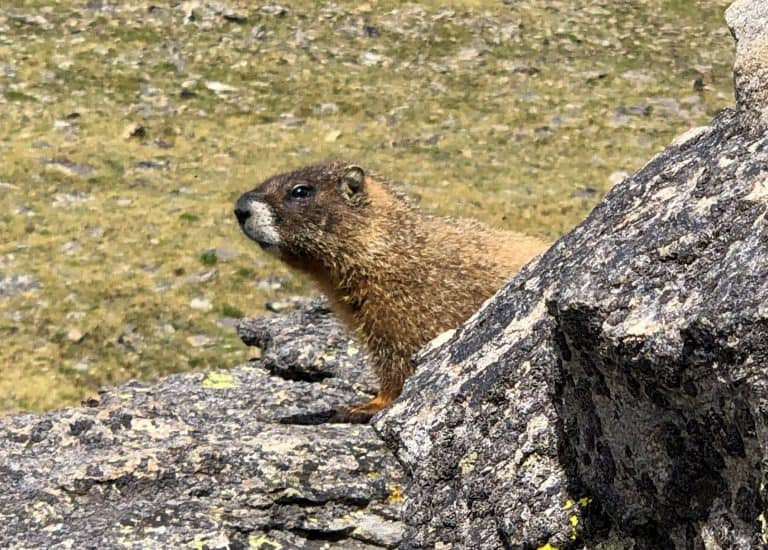Best Hikes in Rocky Mountain National Park Marmot