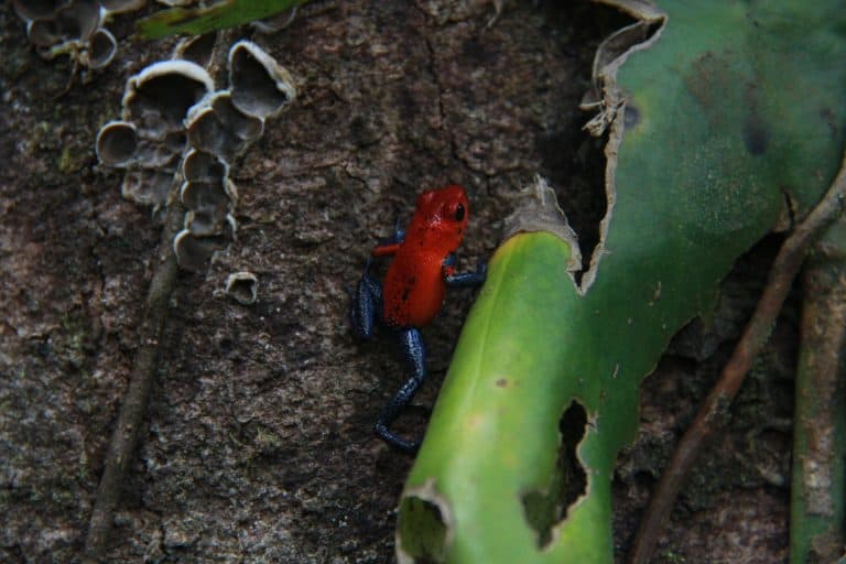 Arenal Costa Rica Wildlife - Blue Jeans Frog
