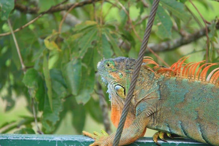 Arenal Volcano Costa Rica La Fortuna Wildlife - Iguana