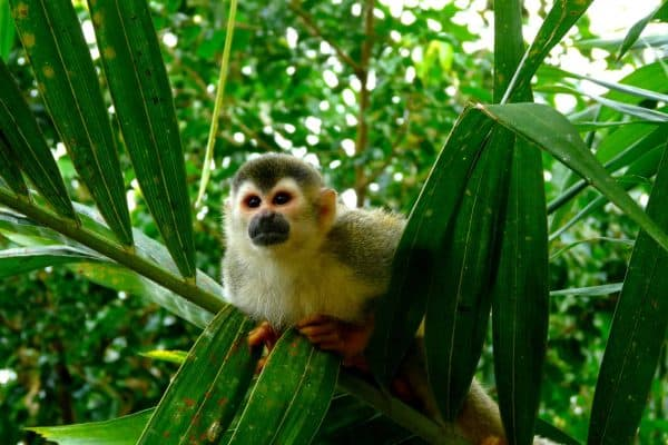 Costa Rica Beaches Squirrel Monkey