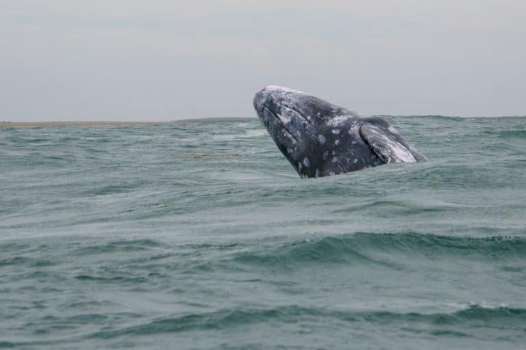 things to do in La Paz Mexico Grey Whale breaching Magdalena Bay, Mexico
