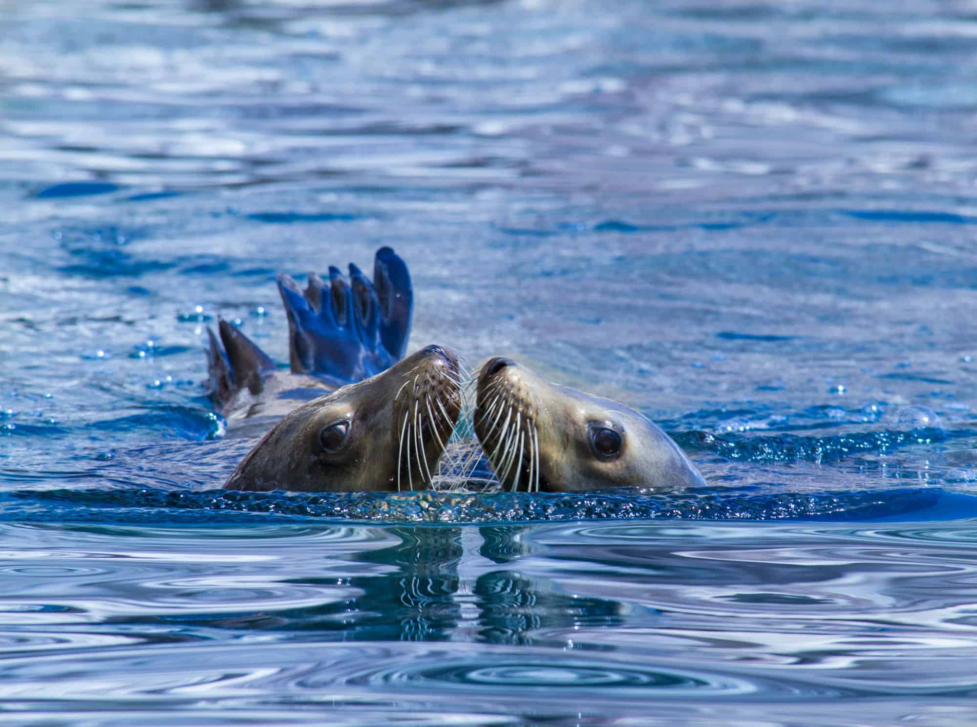 Swim with the Los Islotes Sea Lions in La Paz, Mexico
