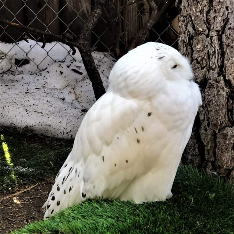 Big Bear Alpine Zoo snowy owl