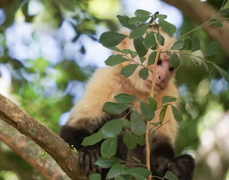 Costa Rica Curu Wildlife Refuge Capuchin Monkey
