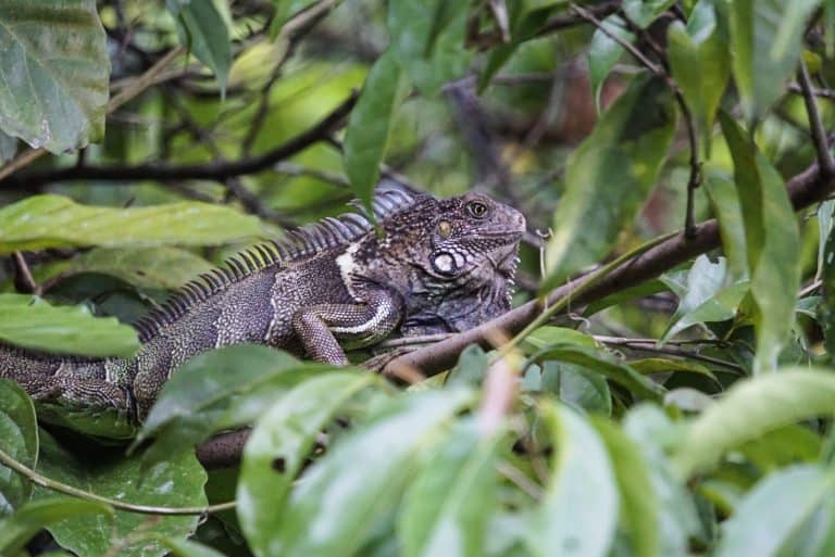 Osa Peninsula Iguana
