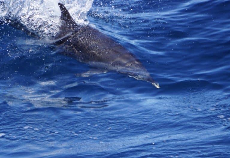 Panama Cruise Coiba National Park Dolphin