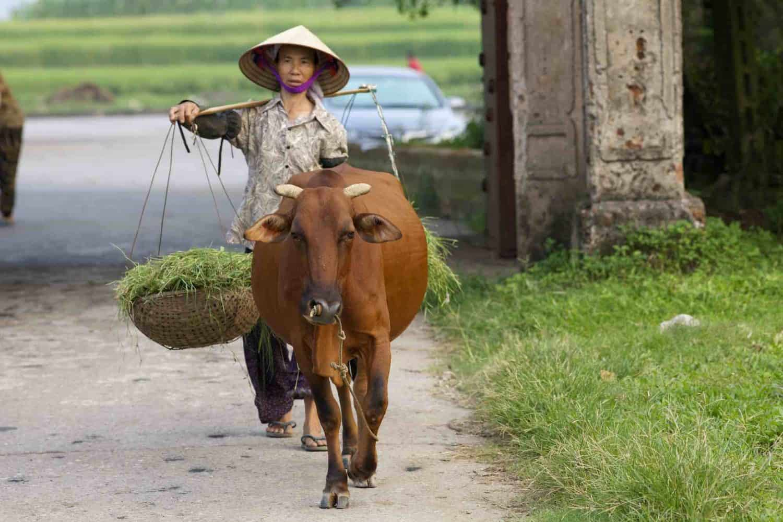 Vietnam Duong Lam Village Tour Woman with Water Buffalo
