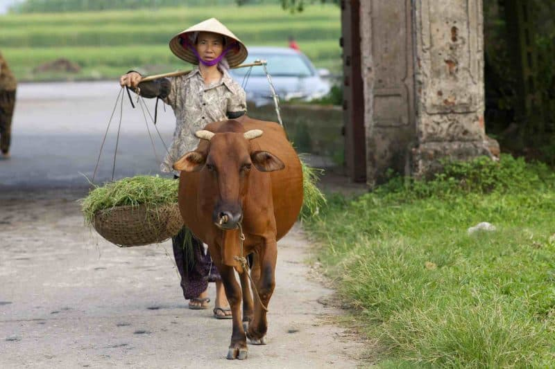 Vietnam Duong Lam Village Tour Woman with Water Buffalo