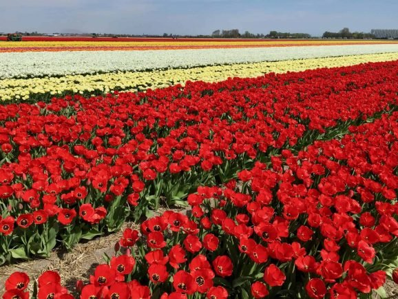 Day Trips from Amsterdam Tulip Fields in the Netherlands