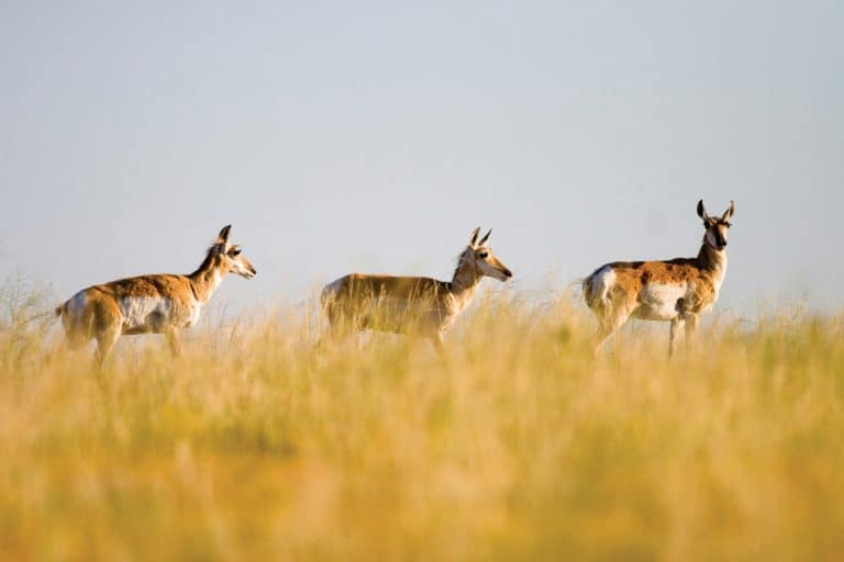 Pronghorns scamper across the northeast plains of Colorado