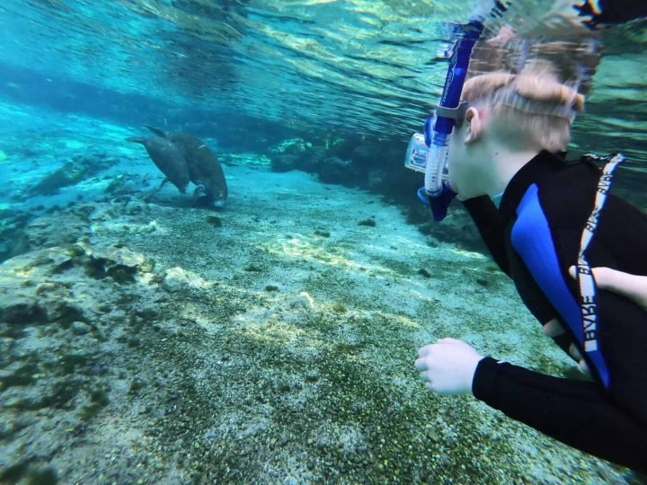 Cow and calf manatee swim near snorkeling child at Crystal River.