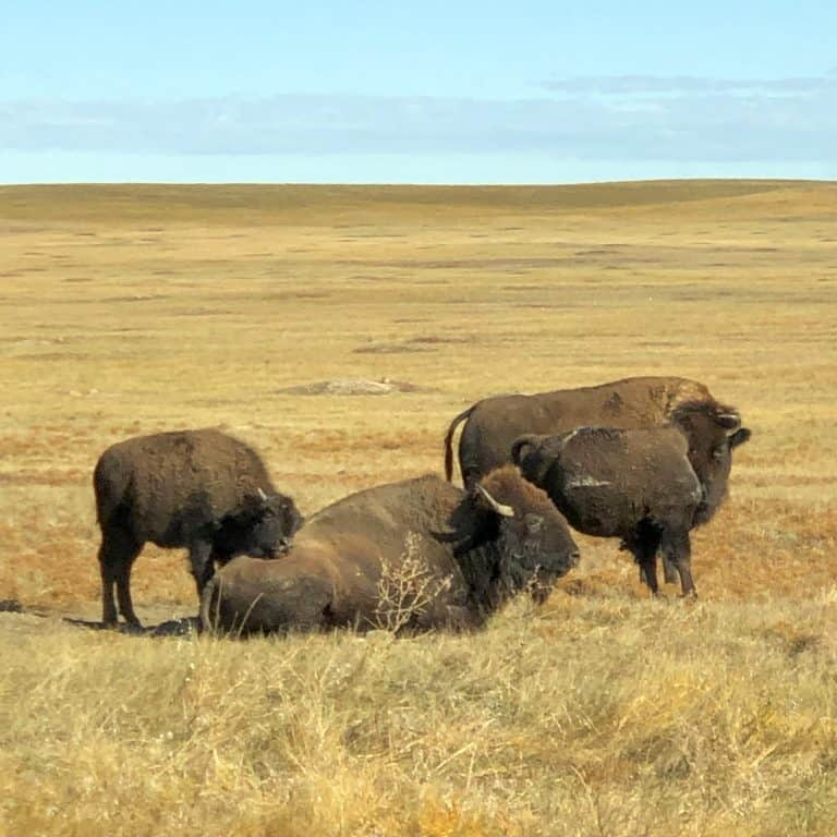 Bison Badlands