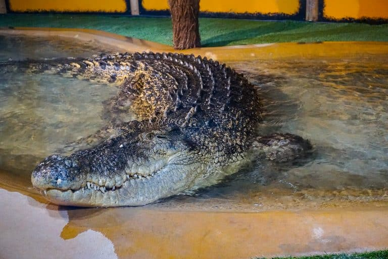 Crocodile at Feeding Time at Reptile Gardens
