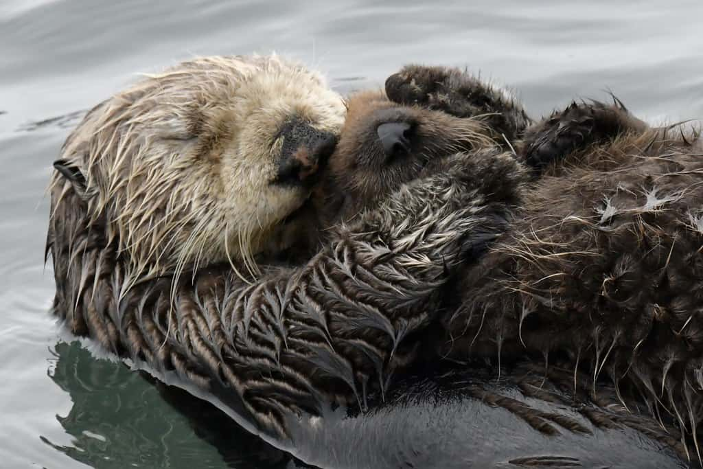 sea otter baby photo