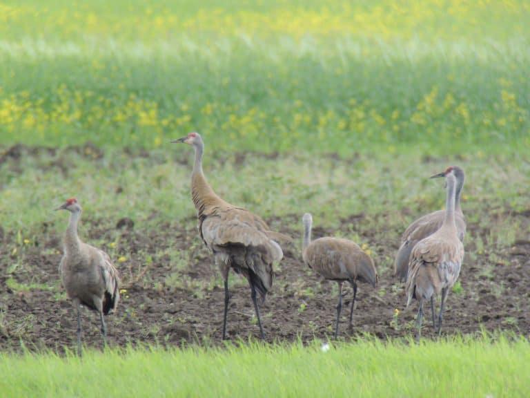 Sandhill Cranes in Alaska