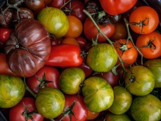 Tomato Planting Tips -Picking the right tomato plant