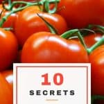 Tomato Growing Tips: 10 Secrets to a Successful Tomato Crop 4