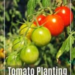 Tomato Planting Tips: 5 Important Questions to Ask Yourself Before Purchasing a Tomato Plant 1