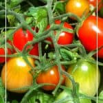 Tomato Planting Tips: 5 Important Questions to Ask Yourself Before Purchasing a Tomato Plant 3