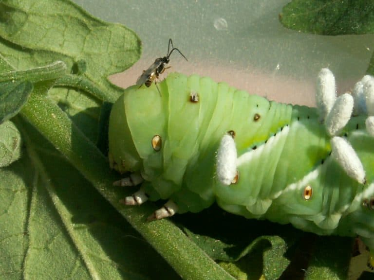 Wasps are the natural enemy of the Tomato hookworm