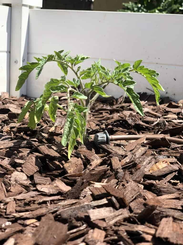 Tomato Growing Tips include using drip irrigation